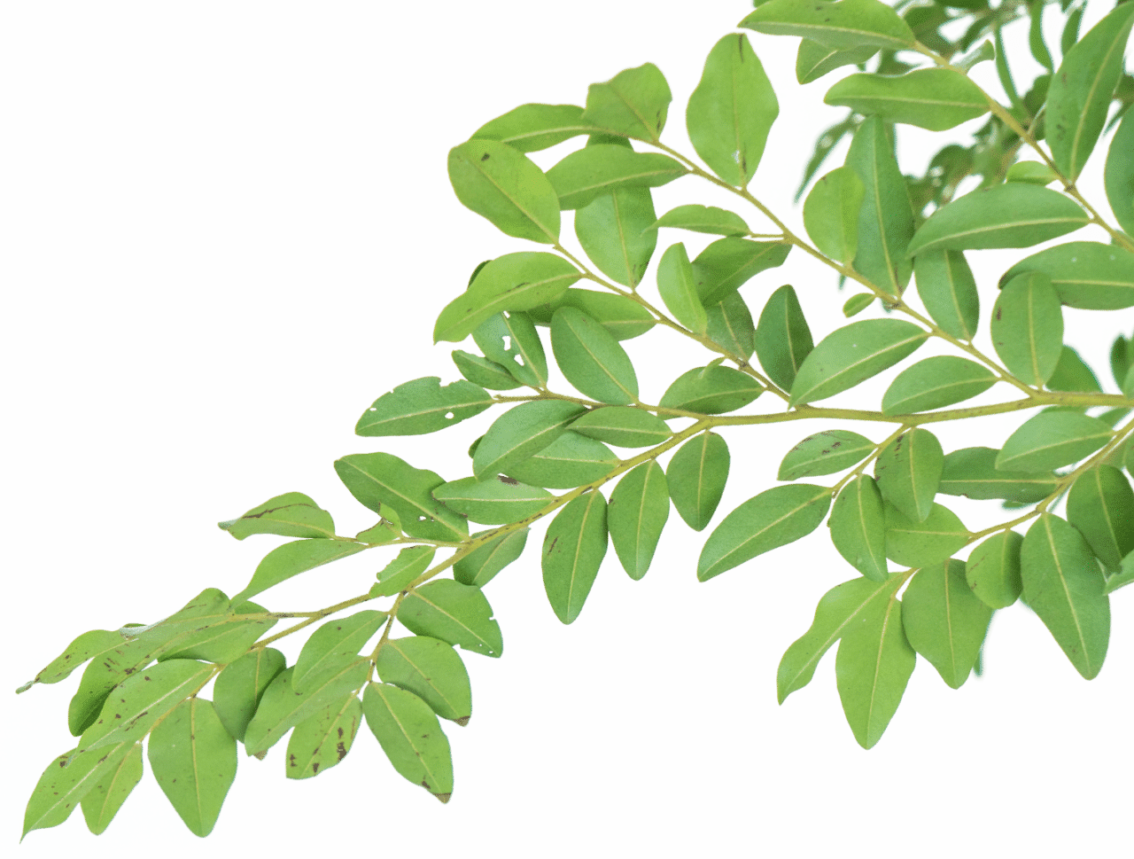 leaf-with-white-background